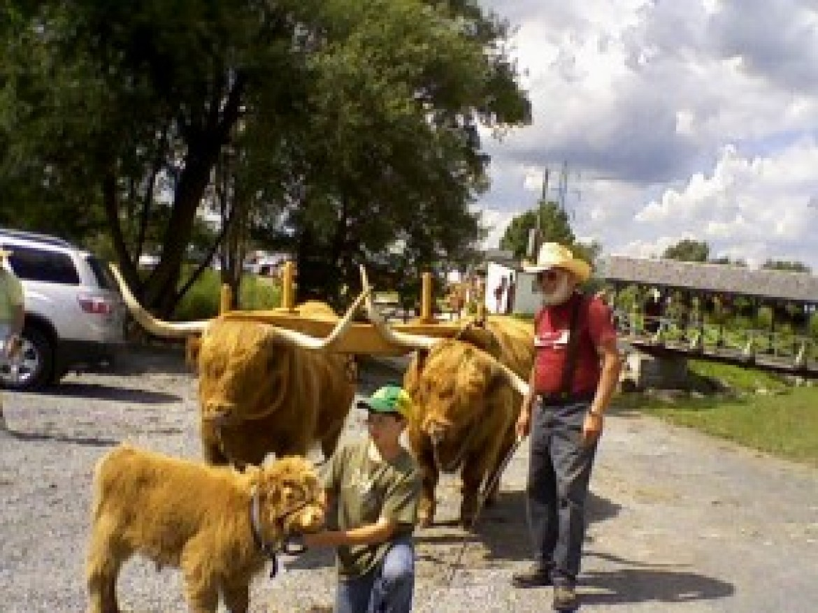 Oxen will be at the Fair again this year!